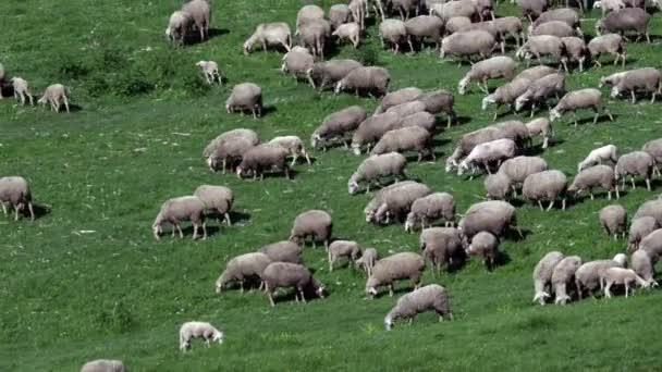 stádo ovcí na přírodním kopci z oblasti Montagne, šat trávou trávu, jarní období