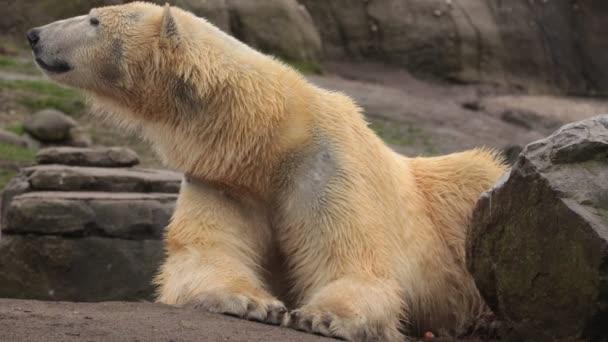 polar bear (Ursus maritimus), hypercarnivorous bear, stay on the rock, and lokking around