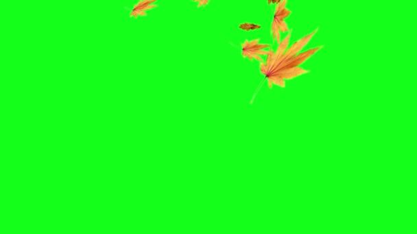 Autumn leaves falling on green screen, chroma key editable background