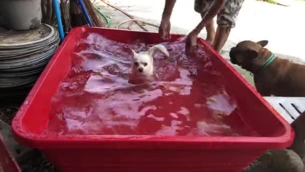 ember elhelyezés Chihuahua kutya-ban kicsi medence-on udvar