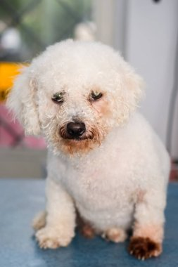 Bichon Bolognese dog breed with Malassezia pachydermatis