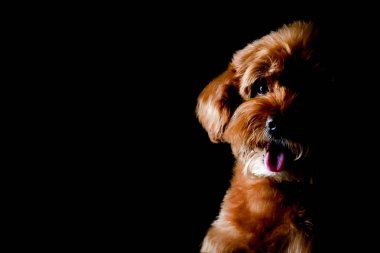 Partial portrait of adorable brown Toy Poodle dog looking and smiling to camera isolated on black background.