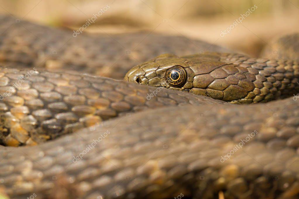 Dice snake Natrix tessellata in Czech Republic