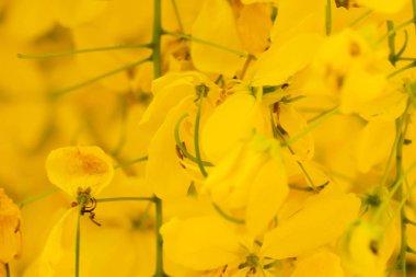 Beautiful yellow flower Golden shower