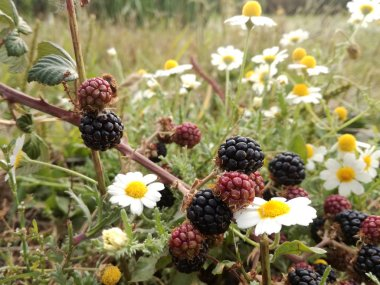 Wild black and red berries that grow on the mount under the sun of Spain. Blackberry, forest fruit among the daisies and fresh green grass. Healthy and natural food.
