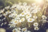 Louka plná květin daisy na pozadí slunce