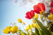 Fotografie Springtime tulip flowers and cherry blossom against a blue sky in the sunshine