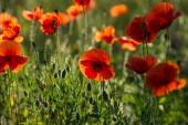 piros pipacs virágok mezőjében a sztyepp
