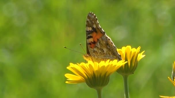 klidné záběry motýla sedícího na krásných levandulových květech