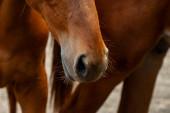 úlomek hlavy koně, zblízka. Anglické plemeno koní.
