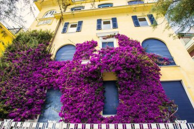 Pink bougainvillea bush on the house wall in Monterosso, Cinque Terre, Liguria, Italy