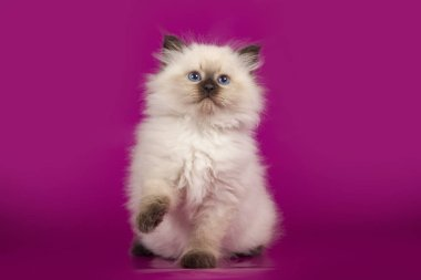 Funny cute kitten sitting on pink background
