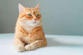 Red tabby cat isolated on white background with copy space. Adorable domestic pet closeup.