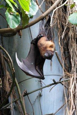 Big Bat hanging upside down, Indian flying fox Pteropus giganteus
