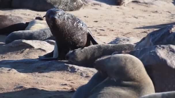huge colony of brown fur seal (Arctocephalus pusillus) in Cape Cross, Namibia, Africa