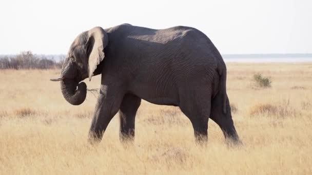 Africký slon (Loxodonta africana) je pitná voda u pramene v národním parku Etosha, Namibie, Afrika