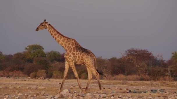 Zsiráf (Giraffa camelopardalis) az Etosha Nemzeti Parkban, Namíbia, Afrika