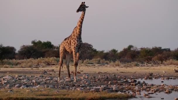 Žirafa (Žirafa camelopardalis) v národním parku Etosha, Namibie, Afrika
