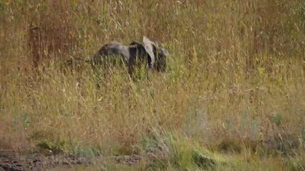 Afrikai elefánt (Loxodonta africana) Wadi Huanib Namíbiában, Afrikában
