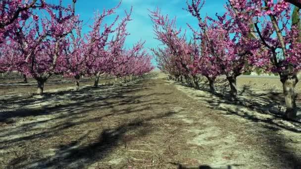 Broskvový květ v Cieze, sady mezi Mirador El Horno a La Macetua. Videografie rozkvětu broskvoní v Kyjevě v oblasti Murcie. Broskve, švestky a nektarinky. Španělsko