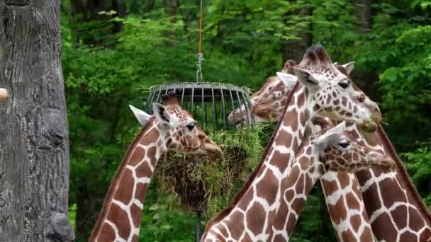 Zsiráf, Zsiráf camelopardalis egy afrikai páros lábú patás emlős, a legmagasabb élő szárazföldi állat és a legnagyobb kérődző.