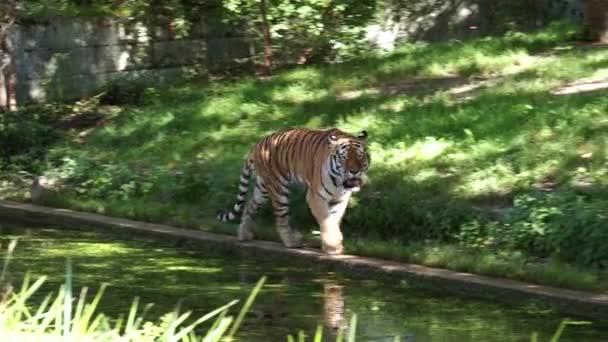 Sibiřský tygr, Panthera Tigris Altaica je největší kočka na světě