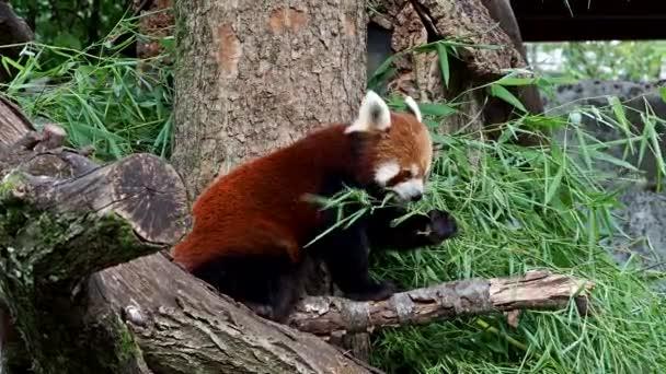 Červená panda, Ailurus fulgens, také volal menší panda a červený kočičí medvěd