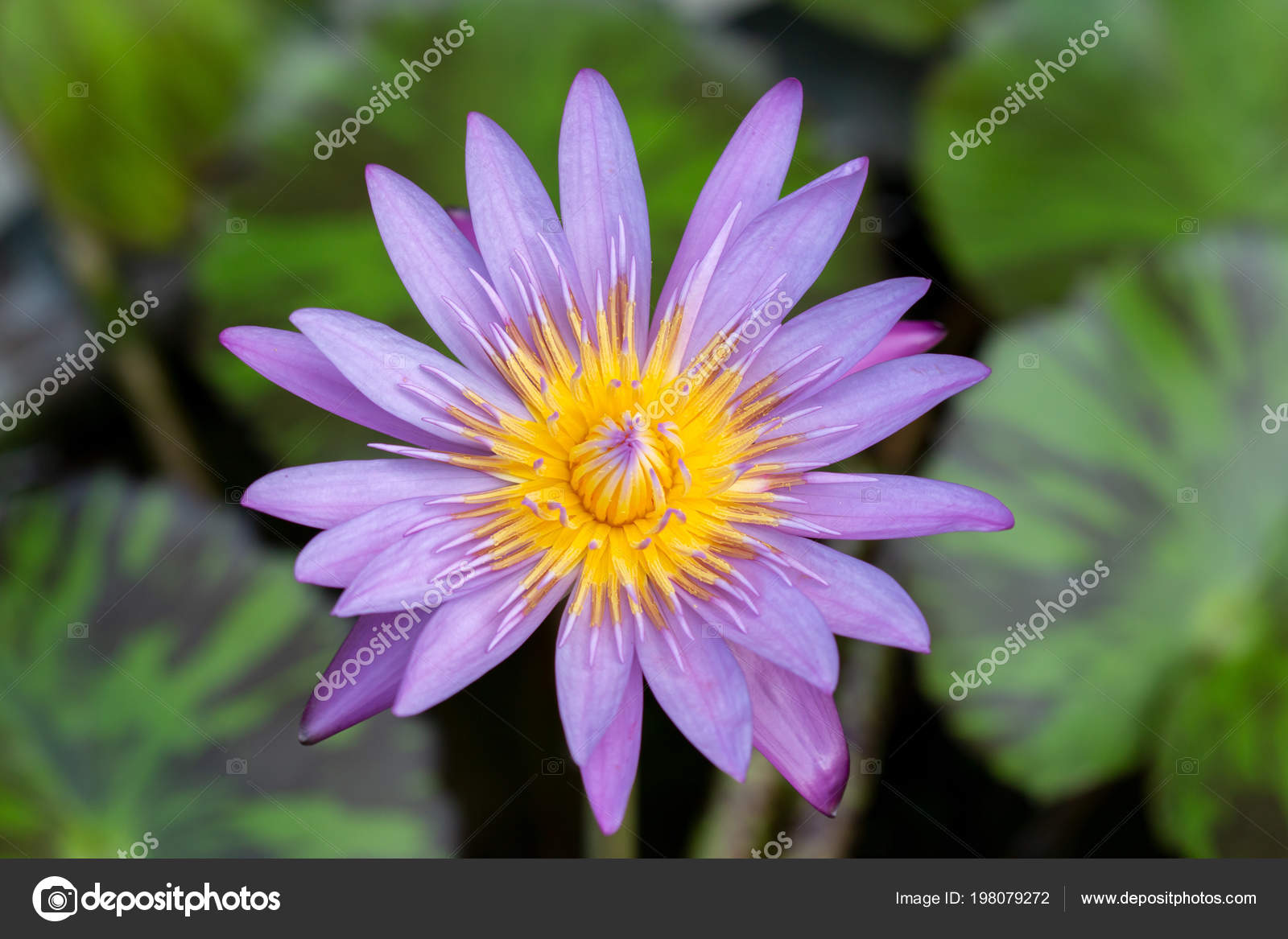 Purple Lotus Flower Natural Background Stock Photo Tanagron