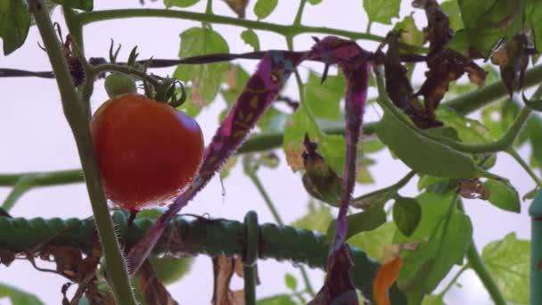 Lassú oldal mozgalom-val friss piros paradicsom növényi kertben lóg a napsütésben
