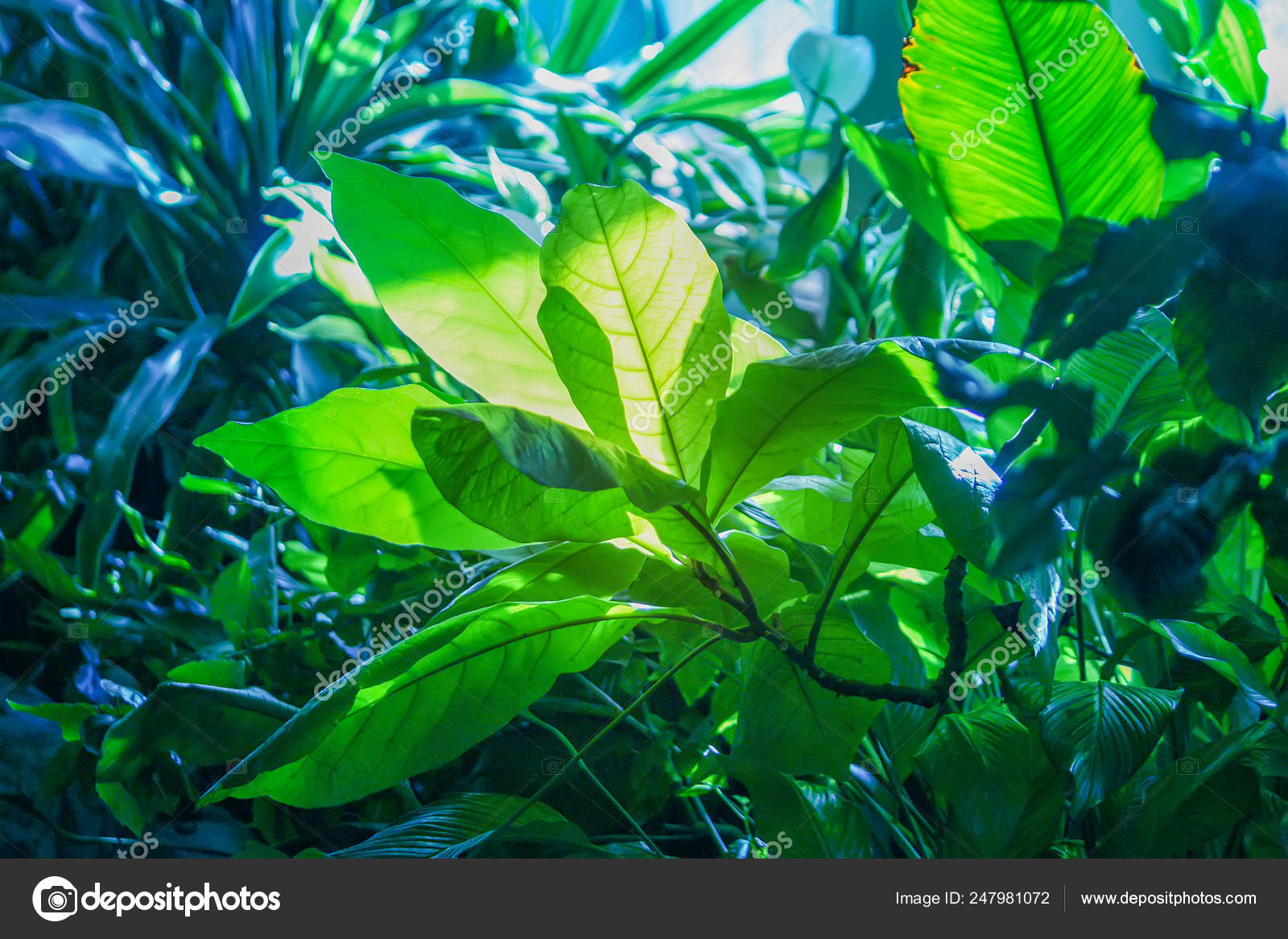 Tropical Leaves In Sunlight Close Up Foliage Nature Green Background Stock Photo C Nightlyviolet 247981072 Are you searching for tropical leaves png images or vector? https depositphotos com 247981072 stock photo tropical leaves in sunlight close html