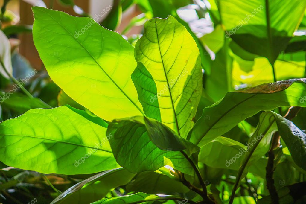 Tropical leaves in sunlight close up. Foliage nature green background.