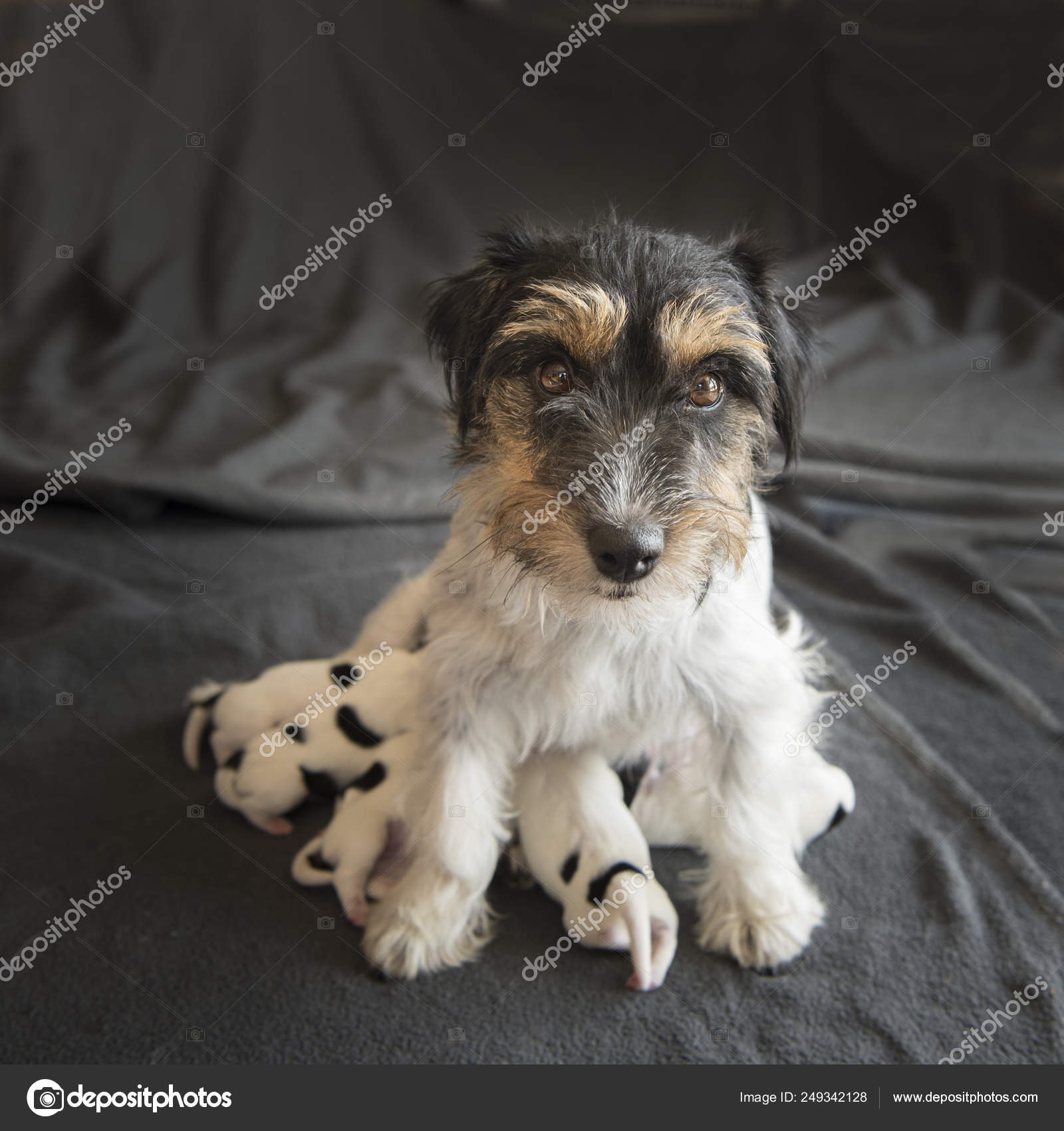 Newborn dog baby   One day old - jack russell terrier