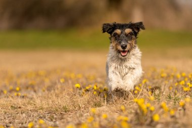 Cute jack Russell Terrier dog in blooming field in spring