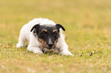 Jack Russell Terrier male. Dog lies with his head on the ground