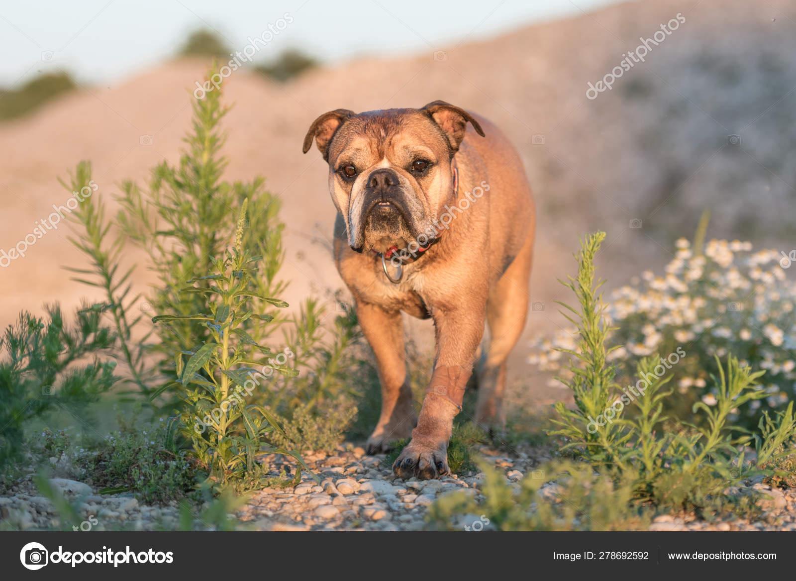 Cute Continental Bulldog Dog Is Standing In A Beautiful Meadow Stock Photo C Thaka11 278692592