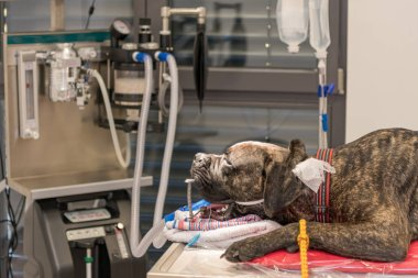 Dog intubated in surgery room of veterinary clinic