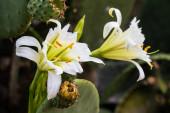 Vadvirág fehér szirmokkal és sárga antherekkel, amelyek a Nopal kaktusz vagy Opuntia levél virágzásából nyílnak a növény zárt rügyei mellett, természetes környezetében.