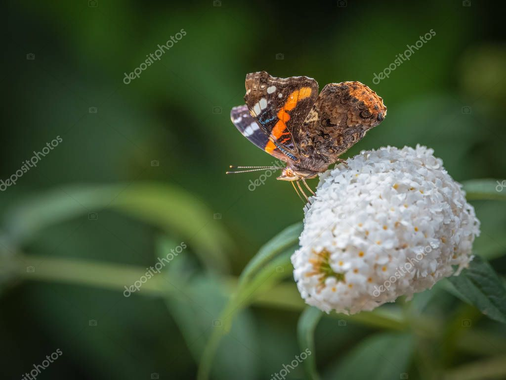 Color outdoor macro of a vanessa atalanta/red admiral/red admirable butterfly, white flowering lilac blossom in a garden on a summer or spring day, natural blurred green background