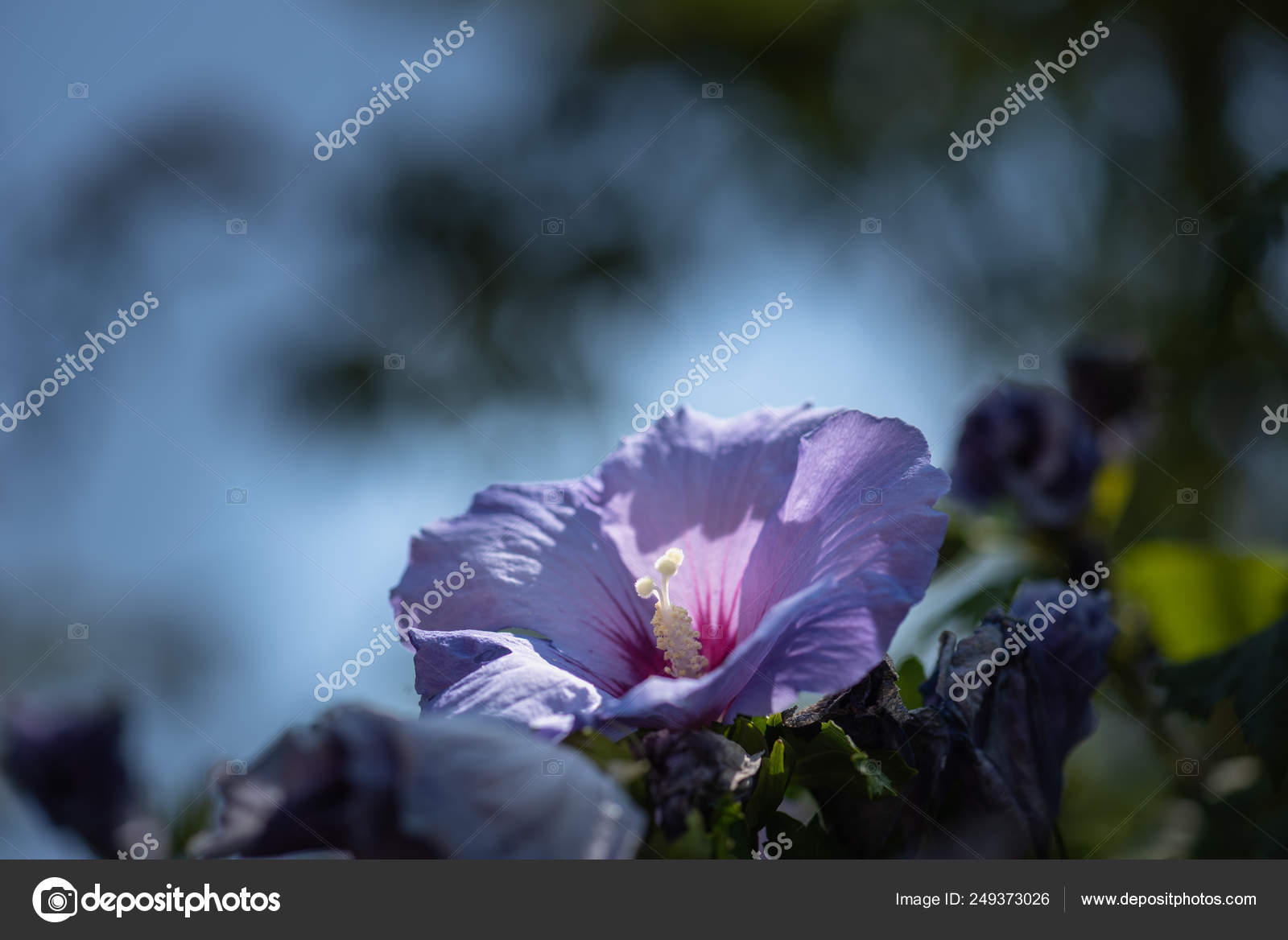 Colorful Outdoor Natural Floral Close Image Single Blue Violet