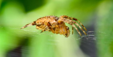 Color macro portrait of an isolated single brown spider on its web with green blurry background on a sunny bright summer day - balance and forward motion