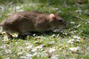 This brown rat was feeding on the scraps of bread that the locals had thrown for the ducks. Wilderness Porthcawl UK