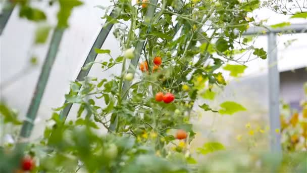Červená rajčata ve skleníku, Žena uřízne její sklizeň