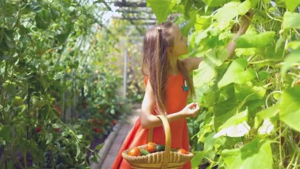 roztomilá holčička sbírá plodiny okurky a rajčata ve skleníku