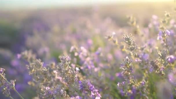 Naplemente egy lila levendulamezőn a szabadban