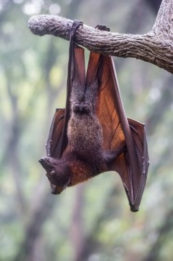 Fruit bat also known as flying fox with big leather wings hanging upside down swinging on tree branch on sharp claws