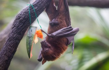 Fruit bat also known as flying fox with big leather wings hanging upside and down eating juicy orange and watermelon