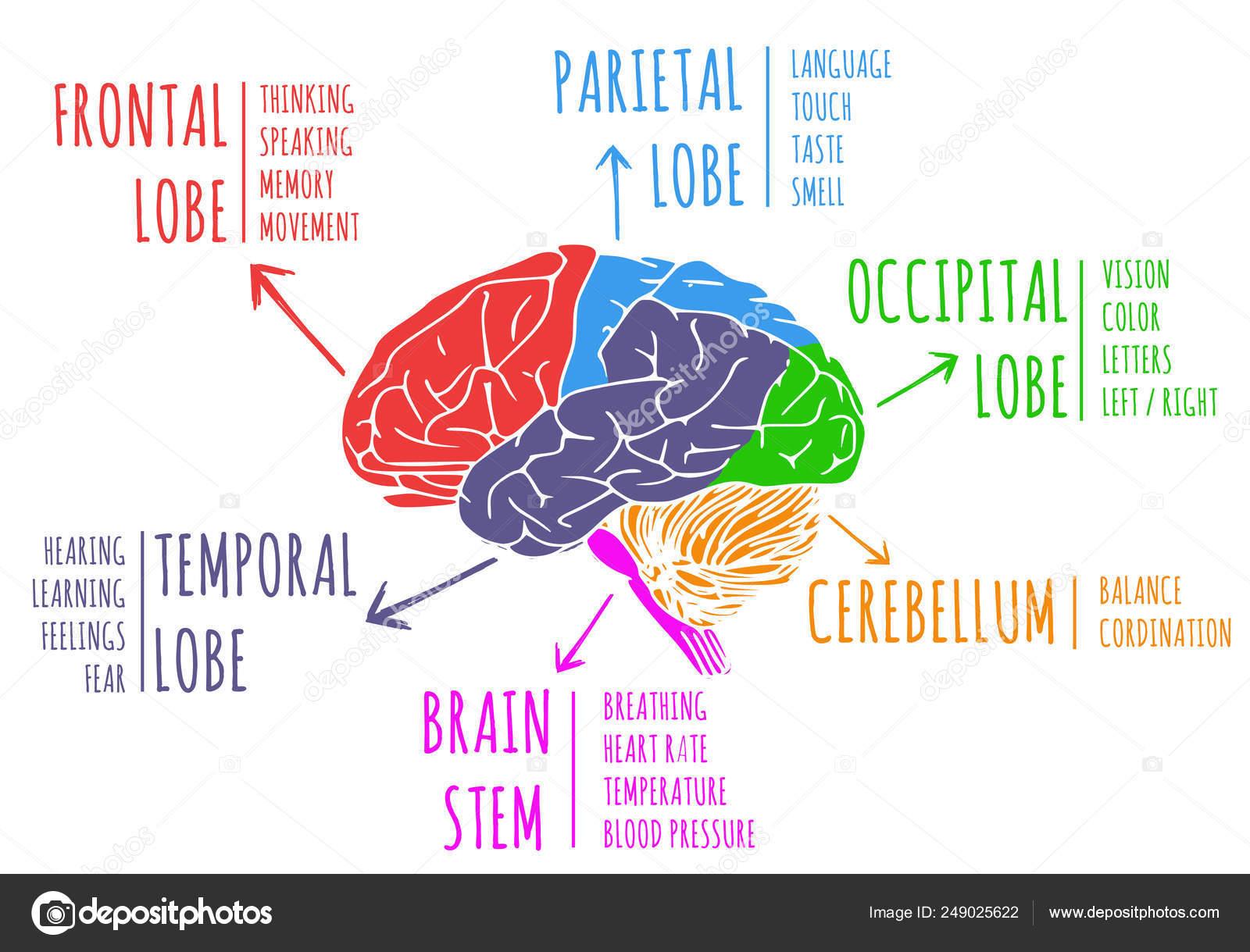 Illustration Human Brain Function Lobe — Stock Photo ...