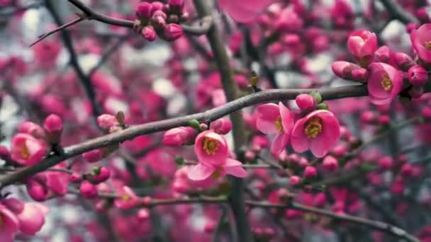 Chaenomeles japonica, Japanese Flowering Quince. Chaenomeles japonica is a species of Japanese Quince. It is a thorny deciduous shrub that is commonly cultivated.
