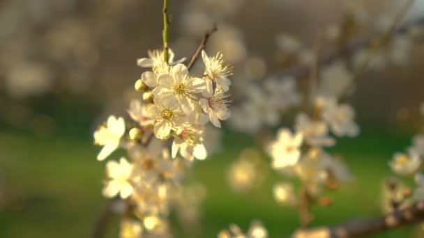 Jarní květy třešní