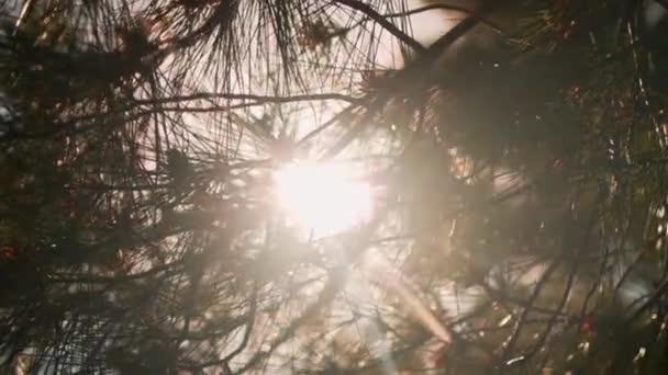V rámu s plánem, větve jedlí, skrz které pronihne sluneční svit, zanechá sluneční záři.